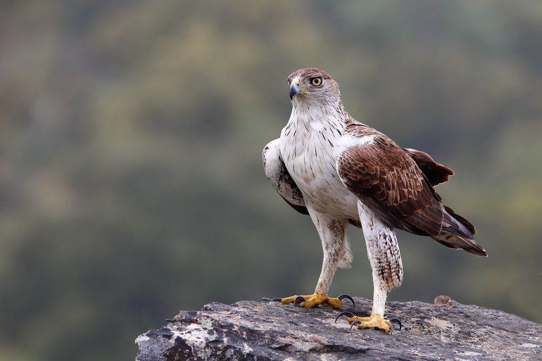 Aguila perdicera en Batxikabo