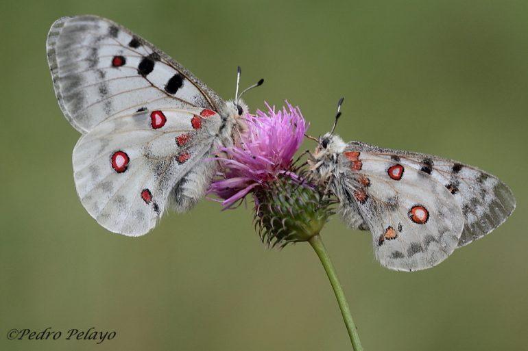 Mariposa Apolo