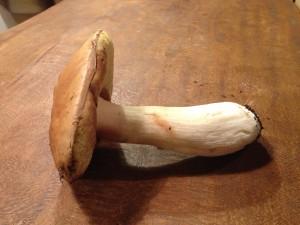Boletus edulis, vista lateral
