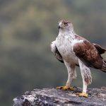 Vuelve a haber águilas en Batxikabo