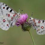 Si ves una mariposa Apolo, avisa. Se están extinguiendo.